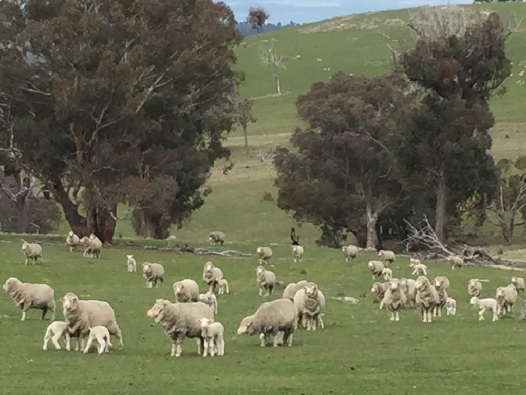 牧場の羊たち